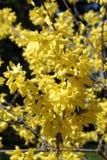 Blomma blommor av forsythia med grunt djup av fältet Royaltyfri Fotografi