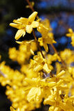 Blomma blommor av forsythia med grunt djup av fältet Våren blommar i botanisk trädgård Selektivt fokusera Royaltyfria Bilder