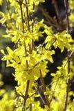Blomma blommor av forsythia med grunt djup av fältet Våren blommar i botanisk trädgård Selektivt fokusera Arkivbild