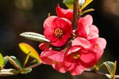 Blomma blommor f?r japansk plommon i slut f?r v?rtid upp sikt royaltyfri fotografi
