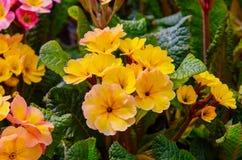 Blomma blommor Primel Peach Melba i guling Royaltyfri Fotografi