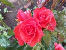 Blomma, blommor, trädgården, gåvan, gre, härligt skönhet, födelsedagen som blommar, blomningen, buketten, closeupen, färg, färg,  Fotografering för Bildbyråer
