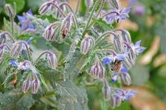 Blomma boragen med honungbiet arkivfoton