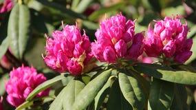 Blomma Bud Pink Rhododendron Arkivbild