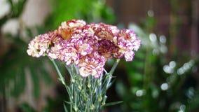 Blomma buketten i strålarna av ljus, rotation, den blom- sammansättningen består av turkisk persikafärg för nejlika arkivfilmer