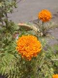 Blomma - Bunga Tahi Ayam Royaltyfri Bild