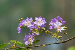 Blomma Bungor, violett blommabakgrundssuddighet Arkivbilder