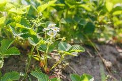Blomma Bush av jordgubbejordningen royaltyfri fotografi