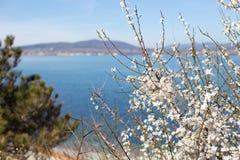 Blomma Bush körsbär Arkivfoto