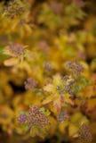 blomma buske för höst Fotografering för Bildbyråer