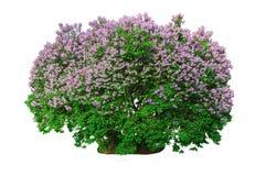 blomma buskelila royaltyfri fotografi