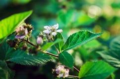 Blomma busken av hallon arkivbild