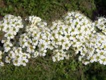 Blomma busken i vår, Litauen arkivfoton