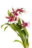 Blomma Cambria Arkivfoton