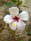 Blomma Cayenne royaltyfri fotografi