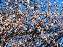 blomma Cherry Royaltyfri Fotografi