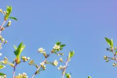 blomma Cherry arbeta i trädgården täta blommor för Cherry tulpan för röd fjäder upp white Arkivbild