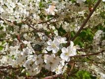 blomma Cherry arkivbild