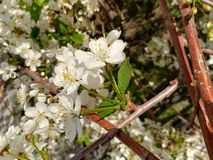 blomma Cherry royaltyfri bild