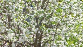 blomma Cherry Bakgrund V?r arkivfilmer