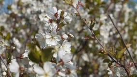 blomma Cherry Cherry Blossom filial Royaltyfri Fotografi