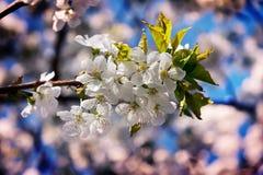 Blomma Cherry Plant On om vårdagen arkivfoton