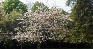 Blomma Cherry Tree, prunussp , Normandie i Frankrike, ultrarapid lager videofilmer
