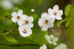 blomma Cherrytree Royaltyfria Foton