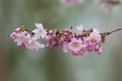 blomma Cherrytree royaltyfri fotografi