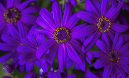 blomma chrysanthemum arkivfoton