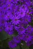 blomma chrysanthemum fotografering för bildbyråer