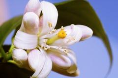 blomma citron Fotografering för Bildbyråer