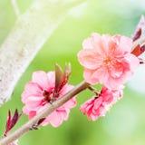 Blomma körsbärsröd tree Royaltyfria Bilder
