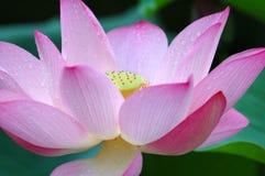 blomma closeuplotusblomma Fotografering för Bildbyråer
