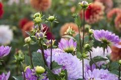 Blomma Dahlia Graceland Royaltyfria Foton