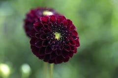 Blomma dahlian dekorative Karma Choc i trädgården mot en suddighet fotografering för bildbyråer