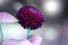 Blomma dahlian dekorative Karma Choc i trädgården mot en suddighet royaltyfria bilder