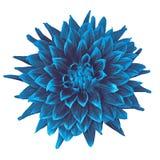 Blomma dahlian för cerulean blått som isoleras på vit bakgrund Närbild element för klockajuldesign arkivbilder