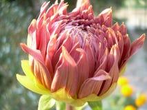 Blomma Dalia Royaltyfri Fotografi