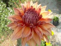 Blomma Dalia Arkivbilder