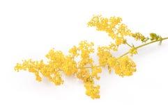 Blomma dams bedstraw eller gul bedstraw som isoleras på vitt, Galiumverum royaltyfri bild