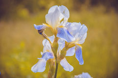 Blomma-de-luce Royaltyfria Foton