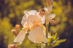 Blomma-de-luce Arkivfoto