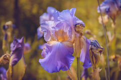 Blomma-de-luce arkivbild