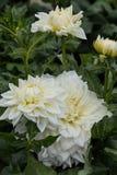 Blomma dekorative vit Alva för dahlian ` s i trädgården Fotografering för Bildbyråer