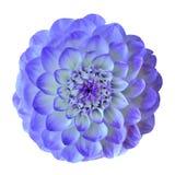 Blomma den blåa cyan dahlian som isoleras på vit bakgrund Närbild element för klockajuldesign royaltyfria foton