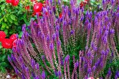 Blomma den dekorativa Salvia nemorosaen Fotografering för Bildbyråer