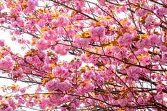 Blomma den dubbla körsbärsröda blomningen Arkivbild