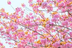 Blomma den dubbla körsbärsröda blomningen och blå himmel Royaltyfria Bilder