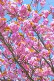 Blomma den dubbla körsbärsröda blomningen och blå himmel Arkivbild